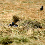 Young Jackdaws Stock Photography