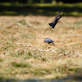 Young Jackdaws Royalty Free Stock Photos