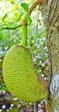 The young Jackfruit. Stock Photos