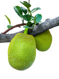 Young jackfruit. The couple of young jackfruits supported by its own branch Stock Photo