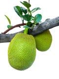 Young jackfruit Stock Photo