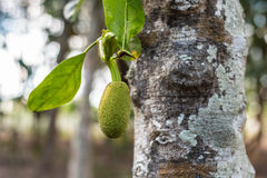 Young jackfruit growing on tree. Concept of hope and rebirth or Royalty Free Stock Images