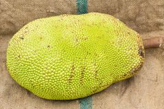 Young jackfruit on gunnysack Stock Photo