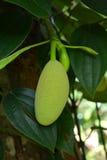 Young jackfruit Stock Photos