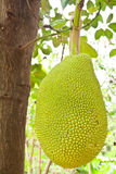 Young Jackfruit on tree Stock Image