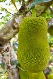 Young jackfruit on tree Stock Images