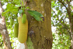 Young jackfruit on a tree in the garden Stock Image
