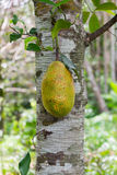 Young jackfruit on tree Royalty Free Stock Image