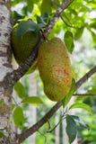 Young jackfruit on tree Stock Photography