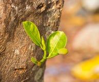 Young Jackfruit on tree Stock Photo