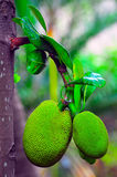 Jackfruits Royalty Free Stock Photography