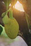 Jackfruit. Young Jackfruits on tree, green Jackfruits on tree Royalty Free Stock Photos