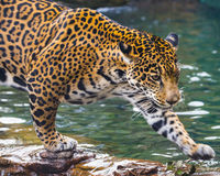 Young Jaguar Cat royalty free stock images