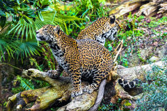 Young Jaguar Cat. Playful young beautiful jaguars in the jungle Stock Photos