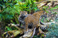 Young Jaguar Cat Stock Images