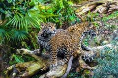 Young Jaguar Cat. Playful young beautiful jaguars in the jungle Stock Images