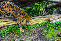 Young Jaguar Cat Stock Photo