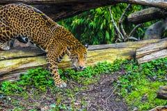 Young Jaguar Cat. Playful young beautiful jaguars in the jungle Stock Photo