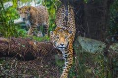 Young Jaguar Cat. Playful young beautiful jaguars in the jungle Royalty Free Stock Photography