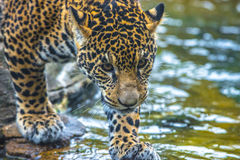 Young Jaguar Cat Royalty Free Stock Photography