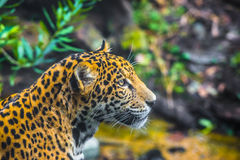 Young Jaguar Cat Stock Photos