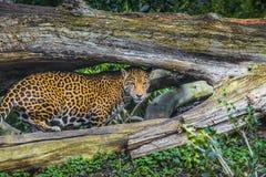 Young Jaguar Cat. Playful young beautiful jaguars in the jungle Royalty Free Stock Photos