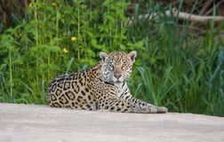 Young Jaguar with Flowers Resting on the Sand Beach in Pantanal, Brazil royalty free stock image