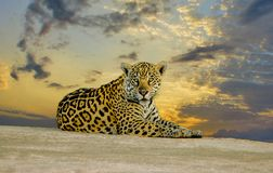 Young Jaguar with Flowers Resting on the Sand Beach in Pantanal, Brazil stock photo