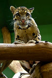 Young jaguar, friendly animals at the Prague Zoo. royalty free stock photo