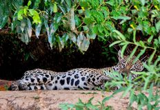 Young Jaguar Laying Down with Green Leafs. He is Looking for the Camera in Pantanal, Brazil stock images