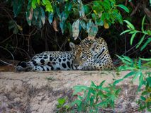 Young Jaguar Laying on the Sand with Green Leafs Around in Pantanal, Brazil stock photos