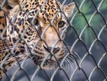 Young Jaguar Panthera onca Inside a Cage stock photography