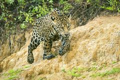 Young Jaguar Walking near the River in Pantanal, Brazil royalty free stock photo