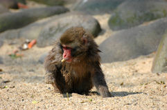 Young Japanese Macaque. Scratching the grounds for food Royalty Free Stock Photos