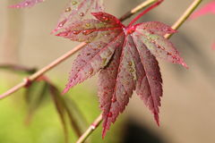 Young Japanese Maple Leaf. Macro image of young Japanese Maple Leaf on a bonsai Royalty Free Stock Photo