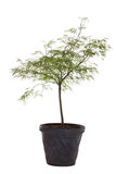 Young Japanese Maple Tree Stock Images
