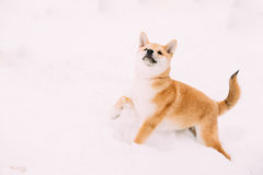 Young Japanese Small Size Shiba Inu Dog Play Outdoor In Snow. Snowdrift At Sunny Winter Day. Copy Space, Copyspace Stock Photo