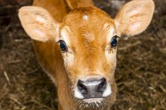 Young jersey bull Royalty Free Stock Photos