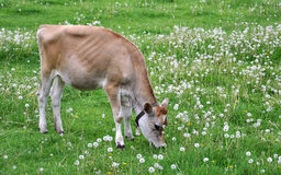 Young Jersey cow in a field with dandelions. Young Jersey cow in a field eating grass and dandelions stock image