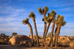 Young Joshua Trees Royalty Free Stock Image
