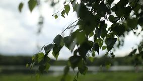 Young juicy green leaves on the branches of a birch. In the sun outdoors in the spring summer close-up stock video footage