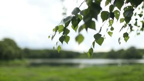 Young juicy green leaves on the branches of a birch. In the sun outdoors in the spring summer close-up stock video