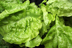 Young juicy lettuce leaf Stock Image