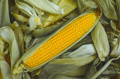 Young, juicy, ripe, raw ear of corn lying on the green tops. Corn harvest collection Royalty Free Stock Photos