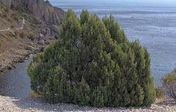 Young juniper. Botanical Reserve New World Stock Photo