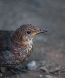Young juvenile Blackbird Stock Images
