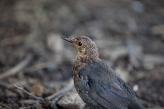 Young juvenile Blackbird Royalty Free Stock Photos