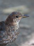 Young juvenile Blackbird Royalty Free Stock Photography
