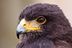 Young juvenile eagle in closeup Stock Images