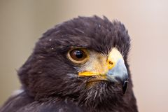 Young juvenile eagle in closeup Royalty Free Stock Image